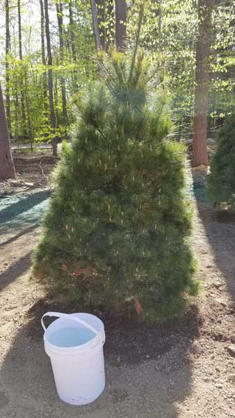 Pine Tree Text 2 - Landscaping
